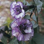 Datura - Double Purple